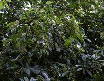 Haricot vert d'Antidesma, arbre d'Antidesma avec des haricots photos libres de droits