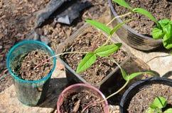 Haricot vertgroddar som växer i krukor Arkivfoto