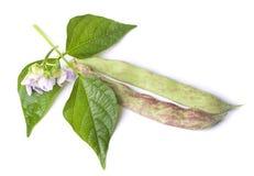 Haricotfröskidor med bladet som isoleras på vit bakgrund Arkivfoto