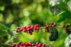 Haricots crus et mûrs rouges organiques frais de cerise de café sur l'arbre images libres de droits
