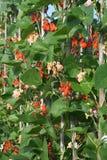 Haricots d'Espagne s'élevants. Photos stock