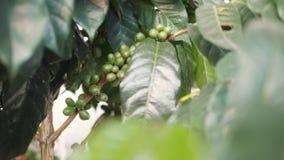 Haricots de baies de café de plan rapproché sur une branche d'arbre dans le jardin 4K, au ralenti Bali, Indonésie banque de vidéos