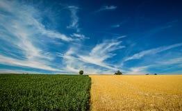 Haricots et champs d'orge sous le ciel dramatique Photos libres de droits