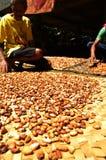Haricots frais de cacao séchant au soleil Photos libres de droits