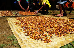 Haricots frais de cacao séchant au soleil Photographie stock libre de droits