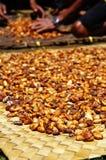 Haricots frais de cacao séchant au soleil Image libre de droits