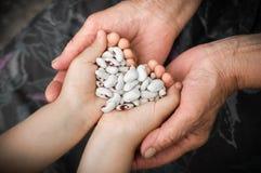 Haricots nains Haricots nains blancs avec les taches rouges dans les mains de la grand-mère et de la petite fille, dans les mains images libres de droits