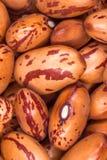 Haricots nains rouges (phaseolus vulgaris) Images libres de droits