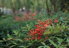 Haricots rouges Photo libre de droits