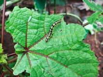 Harig Caterpillar Royalty-vrije Stock Afbeeldingen
