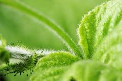 Harig Groen Blad stock afbeeldingen