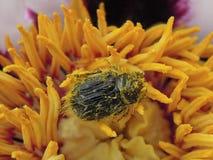 Harig insect op een bloem Stock Foto