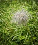 Harig Onkruid in het Gras stock afbeeldingen