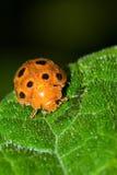 Harig oranje lieveheersbeestje stock afbeeldingen