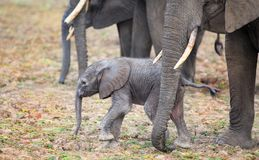 Harig Pasgeboren olifantskalf die zich dicht bij mum voor bescherming bevinden Stock Foto