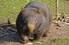 Harige besnuffelde wombat die net terug u bekijken Stock Afbeelding