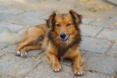 Harige bruine hond stock afbeeldingen