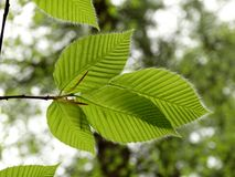 Harige de lentebladeren Royalty-vrije Stock Foto's