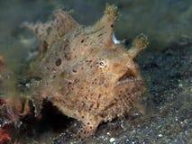 Harige frogfish Royalty-vrije Stock Foto