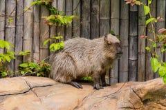 Harige grijze Capybara in dierentuin stock foto