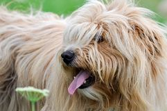 Harige hond die linker, tonend zijn tong, terwijl het lopen op weide kijken stock foto's