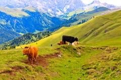 Harige hooglandkoeien in een weiland Stock Foto