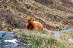 Harige Schotse Hooglander - Hooglandvee - naast de weg, Eiland van Skye royalty-vrije stock fotografie