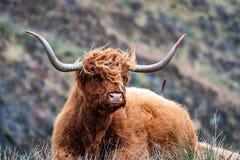 Harige Schotse Hooglander - Hooglandvee - naast de weg, Eiland van Skye royalty-vrije stock foto's