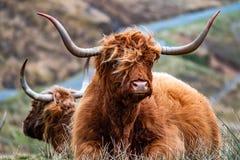Harige Schotse Hooglander - Hooglandvee - naast de weg, Eiland van Skye stock fotografie