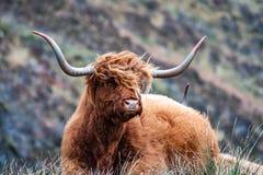 Harige Schotse Hooglander - Hooglandvee - naast de weg, Eiland van Skye stock foto