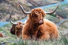 Harige Schotse Hooglander - Hooglandvee - naast de weg, Eiland van Skye royalty-vrije stock afbeelding