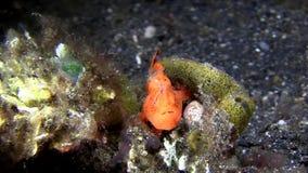 Harige striatus die van frogfishantennarius prooi met lokmiddel in Lembeh-Straat aantrekken stock videobeelden