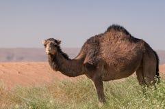 Harige wilde dromedaris in de groene Marokkaanse woestijn royalty-vrije stock foto's