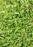 Harina de la hierba Fotos de archivo libres de regalías