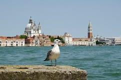 Haringenmeeuw en Venetië Stock Foto
