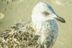 Haringenmeeuw, jonge vogel op een strand Stock Foto