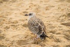 Haringenmeeuw, Larus-fuscus L jonge vogel op een strand van de Oostzee in Polen Stock Foto's