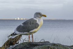Haringenmeeuw op Rots met Zeegezichtachtergrond Royalty-vrije Stock Fotografie