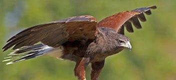 Harirs's Hawk Stock Image