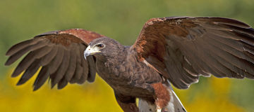 Harirs's Hawk Royalty Free Stock Photography