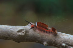 Hariry caterpillar, close up caterpillar in tropical forest Stock Image