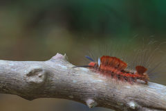 Hariry caterpillar, close up caterpillar in tropical forest Royalty Free Stock Photography