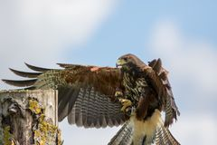 Haris hawk bird of prey landing on falconry display post. Stock Photography