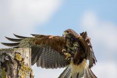 Haris jastrzębia ptak zdobycza lądowanie na sokolnictwo pokazu poczta Fotografia Stock