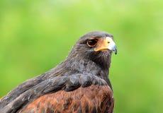 Haris's Hawk the raptor of the Sonoran desert. Royalty Free Stock Images