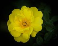 Harison ` s κίτρινο Στοκ Εικόνα