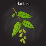 Haritaki Terminalia chebula , or black, or chebulic myrobalan, Ayurveda plant Stock Image