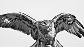 Hark med vingar ut i svart & vit arkivbild