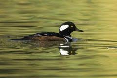 Harle à capuchon masculin dans le lac Photos libres de droits