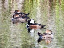 Harle à capuchon pataugeant dans un étang avec les harles femelles Photo libre de droits